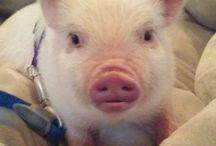 Piggy pigs