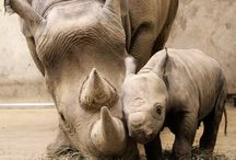 Baby Rhinos / EVERY rhino calf counts!