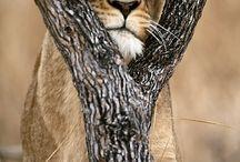 Lion / None