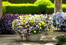 Cool Wave / Create beautiful hanging baskets, or introduce a striking presence into the garden, veranda or balcony. With unparalleled flower power, Cool Wave distinguishes itself from traditional counterparts. Cool Wave is the earliest pansy to come back in the spring and even goes through the winter without losing its character – versatility that makes it popular with the modern audience.