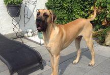 Great Dane / De grootste hond Duitse dog