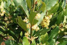Δάφνη - Laurel Bay leaves