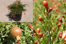 Punica granatum / Punica granatum 'Nana' is a dwarf ornamental Pomegranate. Growing to a mere 3 ft. tall, these are widely used for edgings and are also good candidates for bonsai. In mild winter climates then can even be used as a low evergreen hedge. Cold hardy to Zone 7.