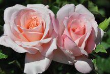 Hybride thee rozen