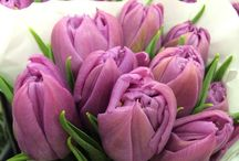 Potomac Floral Tulips / our beautiful fresh cut tulips and tulip plants