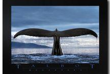 Baleines à bosse / Spectacle magnifique visible à l'ile de La Réunion chaque année