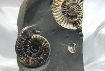 Ammonites / by Tracy Moreau Design