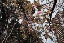 Sakura (cherry blossom) in Nishinomiya / 兵庫県西宮市(市花:桜)の桜の写真を集めました。 Sakura (cherry blossom) is the flower of the city Nishinomiya, Pref. Hyogo.