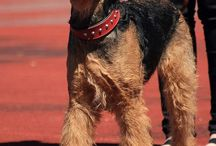 Airedale Love / Airedale Terrier