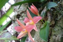 Micro-orquideas / Vários géneros com tamanhos muito pequenos
