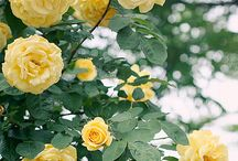 Lovely beautiful roses