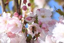 Bloesem explosie / De lente is dit jaar wat later dan anders, maar zeker niet minder uitbundig en mooi.