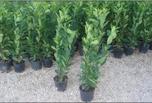 Piante da Siepe - Hedge Plants / Vendita Online Piante da Siepe in vaso - Sale Online Hedge Plants in pot.