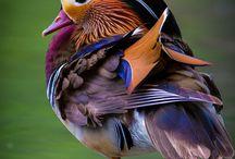 oiseau oezo pták