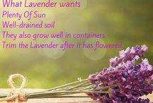 Lavender / How to be creative with Lavender, what Lavender wants and the most popular landscape varieties.