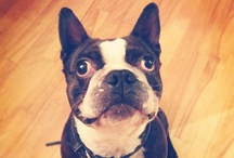 Boston Terriers / by iBarkd.com