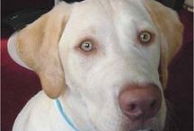 Dudley the Dudley Lab and His Friends / by Jennifer Neuman