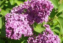 Flere Blomster