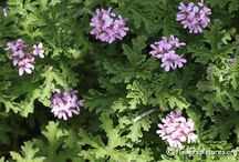 geranium graviolens