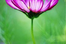 Bloemen Cosmos