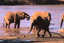 Film: Safari i Samburu, Kenya - Jambo Tours / Samburu är ett av Kenyas allra naturskönaste vildmarksområden. Kring floden Ewaso Ng'iro stöter vi på bland annat nätgiraff, gerenuck (giraffantilop) och elefant. http://www.jambotours.se/resa/kenyasafari/