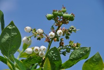 Blueberry Plants / by The Blueberry