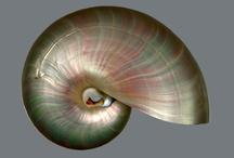 Nautilus sea shells / Jewelry  nature  sea shell