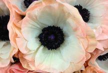 Garden } Anemone