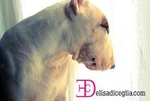I♡ Bull Terrier