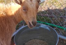 All About Goats / Everything you need to go to care for your goats.