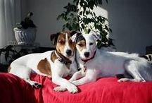 Jack Russell 2