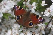 Vlinders van Nederland - Butterflies