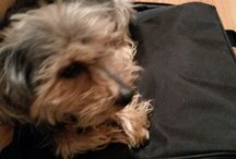 The Yorkies / The Yorkshire terriers, Rupert & Trixie