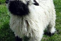 black-nose sheep