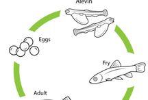 Salmon Feed