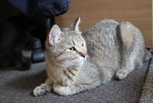 Pink - Pixie Bob Cat / Our fabulous female Pixie Bob Cat. Pink has wonderful wild looks with a perfect show length bobtail and beautiful straight feet...x