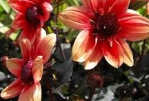 Dahlia - Dark Angel / Originating from Mexico and Guatemala, Dahlias were the flowers of Inca kings and despite their royal origins Dahlias are amongst the easiest plants to grow in the garden.