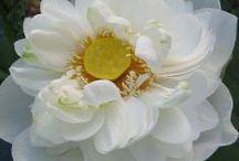 Lotus / Semua tanaman dalam board ini bisa dikirim keseluruh Indonesia, silahkan order ya, tel: 0341-599399 I SMS center: 08569020300 atau kunjungi website kami www.kebunbibit.id