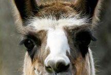 lama's en alpaca's