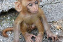 Cercopithecinae / Especially: Macaques (20 species), Mangabeys (6 species), Mandrillus (2 species), Baboons (5 species) ...   All of Genus: Allenopithecus, Cercocebus, Cercopithecus, Chlorocebus, Erythrocebus, Lophocebus, Macaca, Mandrillus, Miopithecus, Papio, Rungwecebus, Theropithecus