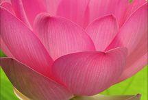 FlowerPower: Lotus