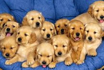 Goldens Rule!!!! / A love of goldens! / by JC Long