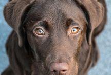 Chocolate Labradors ♥️