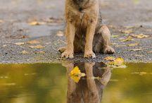 Border terriers