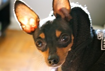 Ike / The most photographed rat terrier on Planet Earth. / by Tammy Gordon