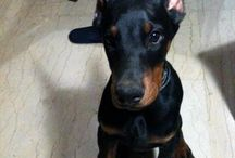 Doberman Pups & Adult dogs / my favourite dog