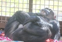 Yoga / Okay, so the chimpanzees at Chimpanzee Sanctuary Northwest don't know they're doing yoga, but they are frequently seen in yoga poses