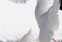 Peaceful White dove