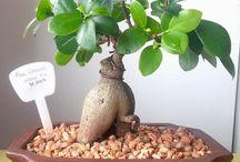 Bonsai / http://bonsais.co.za