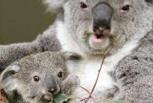 coala så söt som cualan hubert